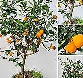 꽃과나무 ] 귤나무 / 대품 / 온주밀감 / 열매 / 여름꽃 / 양지 / 최저-3도 / 아시아온대지방|