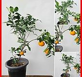 꽃과나무 ] 귤나무 / 중품 / 온주밀감 / 열매 / 여름꽃 / 양지 / 최저-3도 / 아시아온대지방|