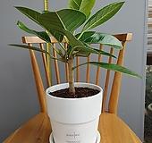 뱅갈 고무나무 외목대 동일상품배송  전체높이45cm|