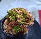 소인제금77청 Aeonium sedifolius