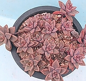 프리티합식|Graptoveria Gilva