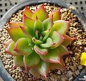 짧은잎적성110 Echeveria agavoides Akaihosi