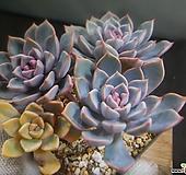 핑크프리티군생(부분금) 110-2498 Echeveria Pretty in Pink