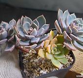 핑크프리티군생(부분금) 110-775 Echeveria Pretty in Pink