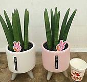 귀여운 반려식물 스투키, 전체높이 30cm전후|