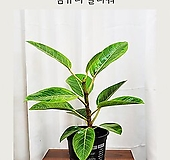 초록초록 뱅갈 고무나무 - 김규리플라워|