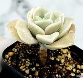 러블리로즈 13-62|Echeveria Lovely Rose