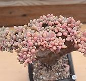 익스펙트리아철화 묵은둥이|Cremneria Expatriata f cristata