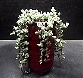 원종벽어연|Corpuscularia lehmanni