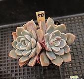핑크프리티58 Echeveria Pretty in Pink