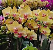 금공주 서양란 호접란 꽃대1-2대145|variegated