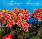 금나비 서양란 호접란 꽃대1-2대145|variegated