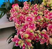 금나비 서양란호접란 꽃대1-2대145|variegated