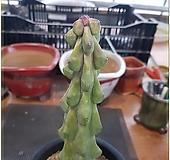 용비실생 Myrtillocactus geometrizans cv. fukurokuryuzinboku