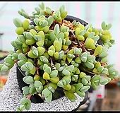원종벽어연(랜덤)|Corpuscularia lehmanni
