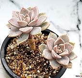 핑크프리티 14-417 Echeveria Pretty in Pink