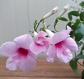 나팔남천(펜도르자스민) 꽃대|