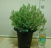 라벤다 블루1번-허브식물-동일품배송|