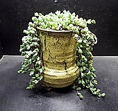 원종벽어연大|Corpuscularia lehmanni
