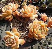 온슬로우0113-2 Echeveria cv Onslow