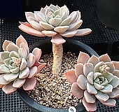 핑크프리티 Echeveria Pretty in Pink