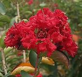 목백일홍(다이너마이트)삽목묘 1개 배롱나무 빨간색꽃|