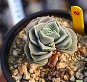 러블리로즈 620114|Echeveria Lovely Rose