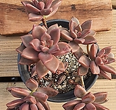프리티|Graptoveria Gilva