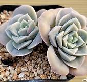 러블리로즈2두 46|Echeveria Lovely Rose