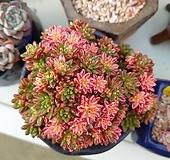 소인제금 자연군생 Aeonium sedifolius