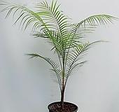 미니코코넛야자 / 동일품배송/ 높이 120 너비 105|