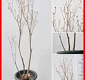 꽃과나무 ] 엑스바리철쭉 / 홍황철쭉 / 봄꽃 / 양지 / 반양지 / 최저-30도 / 중국나무|