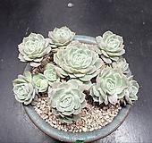 온슬로우 14두 Echeveria cv Onslow