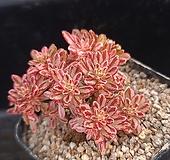 소인제금 Aeonium sedifolius