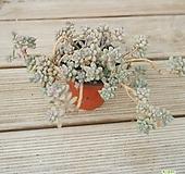 베라하긴스 0113-42 Graptopetalum Mirinae