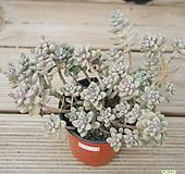 베라하긴스합식 0113-43 Graptopetalum Mirinae