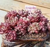 (별다육강추)진한 자주빛 묵둥이 핑크자라고사-114|Echeveria mexensis Zaragosa