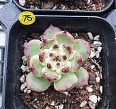 75 특이종 핑크자라고사 |Echeveria mexensis Zaragosa