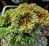 길바철화  598|Graptoveria Gilva