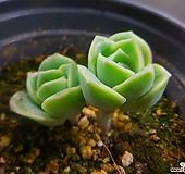 러블리로즈 114-066|Echeveria Lovely Rose