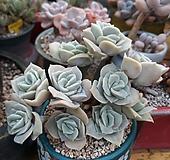 묵은.러블리로즈합식|Echeveria Lovely Rose