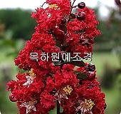 백일홍나무(다이너마이트),삽목2년특묘,목하원예조경|