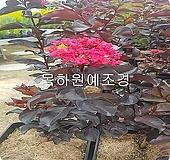 자엽백일홍나무(블랙다이아몬드),(적색꽃),삽목1년생,목하원예조경|