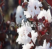 자엽백일홍나무(블랙다이아몬드),(흰색꽃),삽목1년생,목하원예조경|