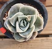 러블리로즈|Echeveria Lovely Rose