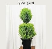 눈사람모양 율마 - 김규리플라워 