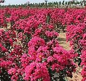 백일홍나무(핑크벨로),수고1.2전후,같이가치농원|