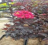 자엽백일홍나무(블랙다이아몬드),(적색꽃),삽목1년생,같이가치농원|