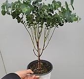 유칼립투스 중품 키 45-60 cm가량80 