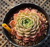 온슬로우 250115 Echeveria cv Onslow
